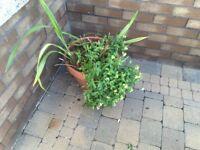 Various garden pots incl the planted shrubs