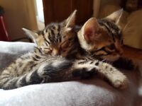 2 x Bengal x kittens ready for new home in 2 weeks, beautiful markings