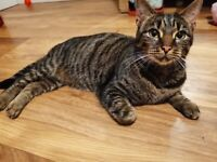 4 year old female tabby cat **SOLD**