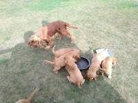 Cocker spaniels puppy's
