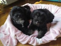 Beautiful puppies boy and girl left