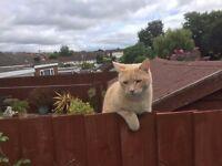 Missing Tom Cat. Pale Sandy Fur EX8 4JW Brixington Area Exmouth