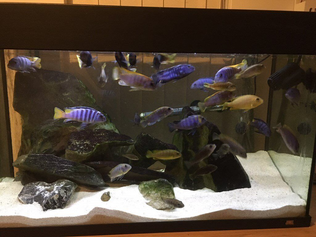 complete malawi mbuna cichlid aquarium setup in aldershot hampshire gumtree. Black Bedroom Furniture Sets. Home Design Ideas