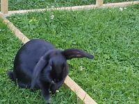 2 bonded 12 week old baby rabbits.