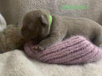 Stunning Lilac French Bulldog Puppies