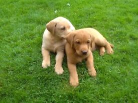 Yellow/Red Labrador puppies. Health Tested Parents