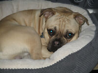 French Bulldog x Pug 10 months old looking for a new loving home £550