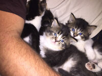 4 beautiful kittens 3 long haired 1 short