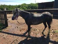 Welsh section A pony 11hh mare