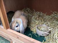 Rabbit with hutch and accessories