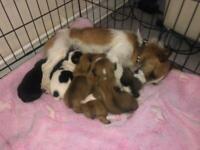 Jack Russell / terrier