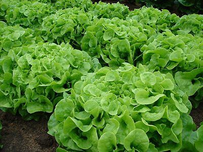 1000 GREEN OAKLEAF LETTUCE SEEDS 2019 (all non-gmo heirloom vegetable seeds!)