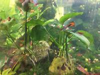 Cherry shrimp, assassin snails and plants for sale