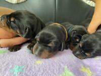 UK KC REGISTERED DOBERMANN PUPPIES