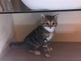 3 kittens for sale £150 each