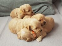 Beautiful Maltipoo puppies ready to go on 4/04/21