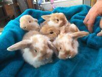 Buttercups beautiful baby bunnies