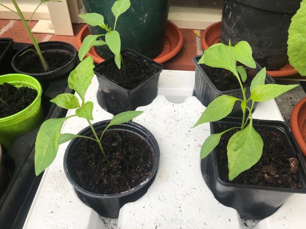 Chilli Plants Cayenne In Appleton Cheshire Gumtree
