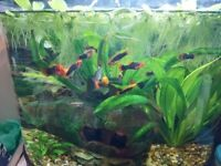 Coldwater Platys for sale