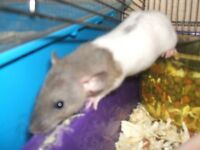 MALE RAT'S FOR SALE
