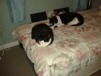 FREE two black and white cats brother and sister