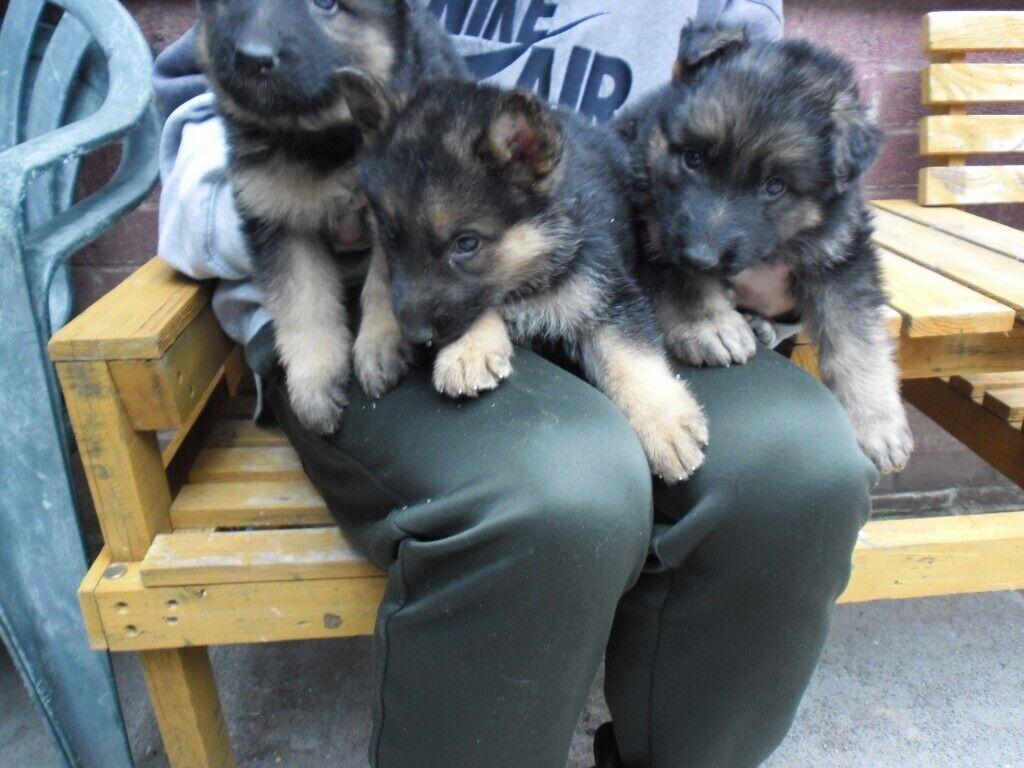 German Shepherd Puppies In Wirral Merseyside Gumtree