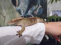 2 female Crested geckos