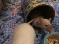 MALE MICE X 3 £15 TO GOOD HOME