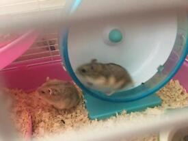 pet hamster and toys