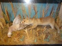 cased taxidermy fox cub with pheasant