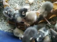 Silly tame baby Rats ready in 5 weeks