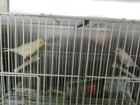Satinette canaries for sale