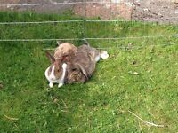 2 rabbits to give away for free to a good home - including the hutch, water bottle etc.
