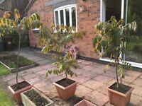 Toona Sinensis or Chinese Mahogany Tree