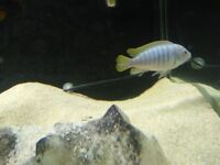for sale malawi ciclids