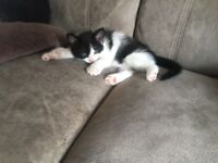 Kittens for Sale (7 weeks old)