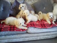5 boy cavapoos looking for new homes.
