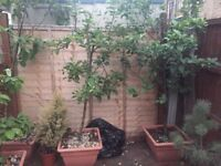 Two apple trees in big pots (giving fruits!)