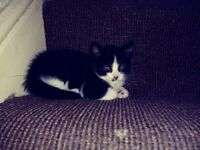 Little kitten for sale
