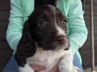 Springer spaniel bitch puppy 10 weeks lovely pup