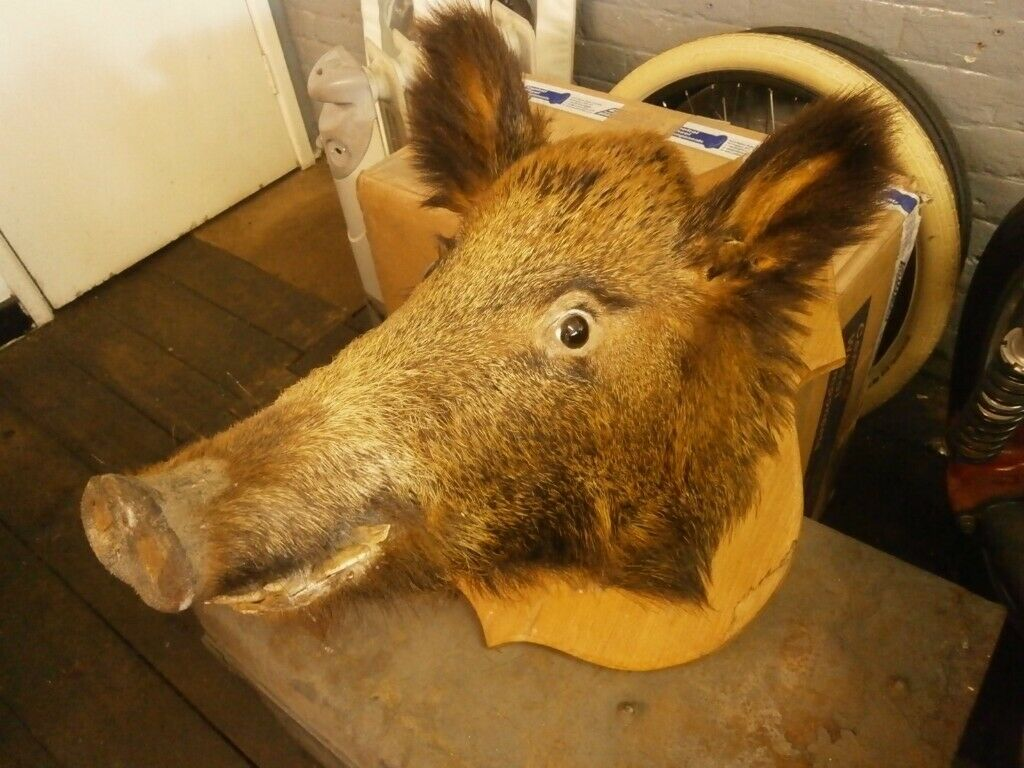 LARGE SIZE BORIS THE BOAR TAXIDERMY MOUNTED | in Poole, Dorset | Gumtree