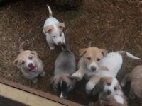 husky cross puppies