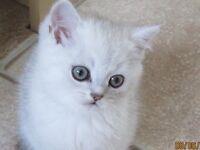 Exotic Kitten for sale
