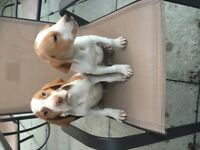 Litter of 6 beagle puppies