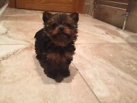 Tea Cup Yorkshire Terriers