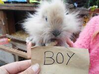 fawn and white lionhead/lop bunnie
