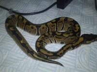 Hatchling Royal pythons £40-£60