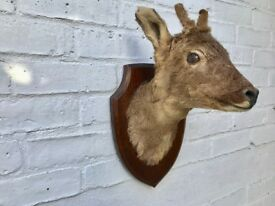Mounted Roe Deer Head Taxidermy #375