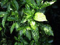 Variegated Laurel Shrub /plant/ bush