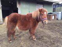 Shetland pony Mare